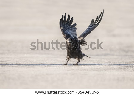 Crow, Corvus corone, about to fly from the ice