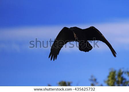 crow flying in the blue sky