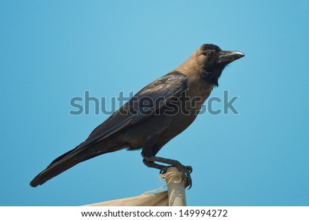 Crow in front of blue sky - stock photo