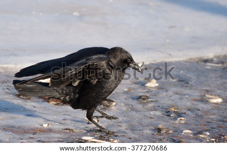 Crow landing on icy waters