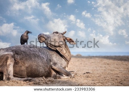 Crow sitting on the cow at the beach in India - stock photo