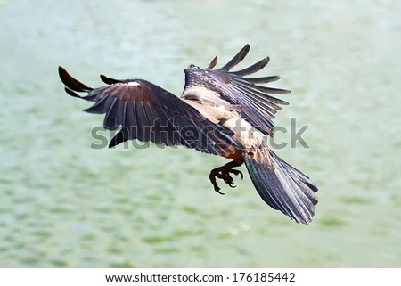 crow wings on the fly - stock photo