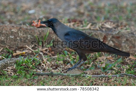 crow with a foot of an rooster in his beak - stock photo