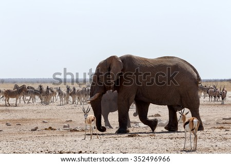 Crowded waterhole with Elephants, zebras, springbok and orix. Etosha national Park, Ombika, Kunene, Namibia. True wildlife photography