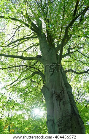 Crown and stem of a huge old beech tree with green foliage. - stock photo