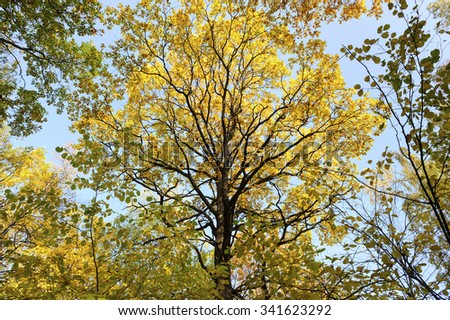 Crown oak surrounded by birch trees, autumn bright foliage, leaves on branches of bronze, golden, yellow, orange, brown and green colors, blue sky on background  - stock photo