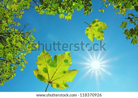 crown of a maple tree and falling maple leaves, against blue sky with bright sunshine. natural background - stock photo