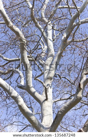 Crown of plane trees over blue sky