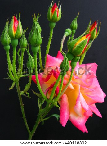 Crown of rose buds around pink flower in bloom against a black background. - stock photo