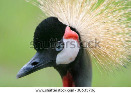 Crowned crane - Balearica pavonina portrait