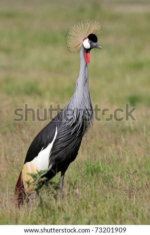 Crowned crane in the grasslands of the Amboseli National Park, Kenya, East Africa