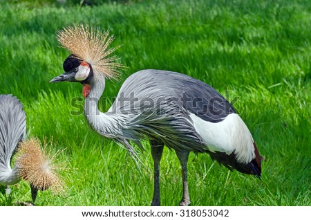 Crowned Crane on green blur background - stock photo
