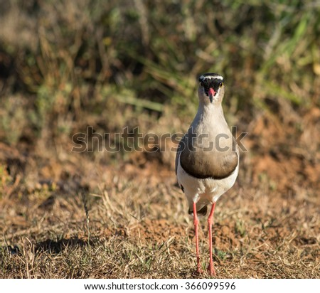 Crowned Lapwing defending the nest - stock photo