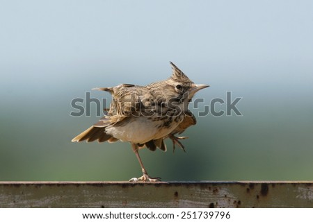 Crowned lark perched on metal bar, on one leg - stock photo
