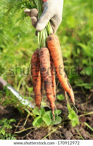 Crunchy carrots in hands - stock photo