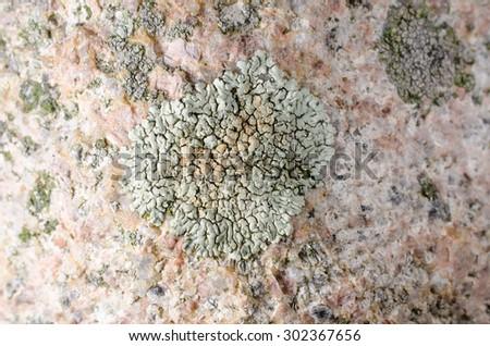 crustose lichens - stock photo
