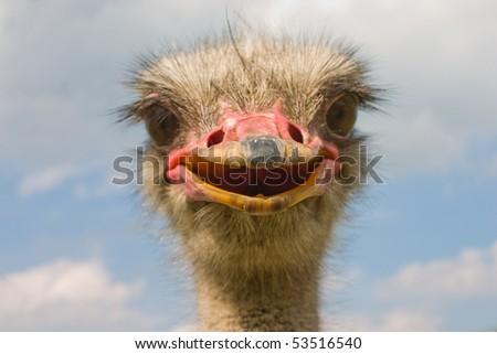 crying ostrich (focus on beak) - stock photo