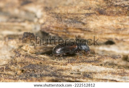 Cryptic slime mold beetle, Sphindus dubius, Sphindidae on wood  - stock photo