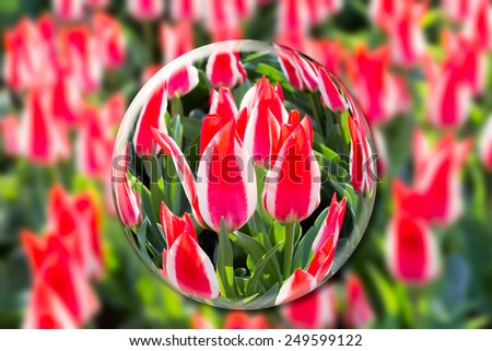 Crystal ball with red-white tulips in flowers field - stock photo