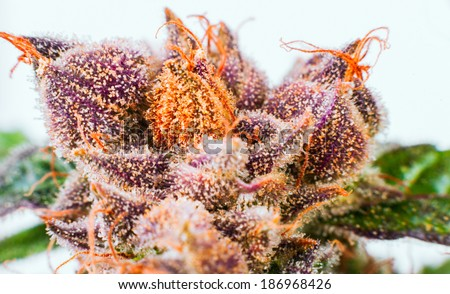 Crystals ripe flowers macro marijuana THC - stock photo
