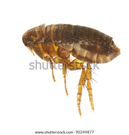Ctenocephalides felis, cat flea or flea, isolated on a white background - stock photo