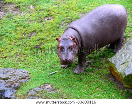 Cub hippo plays outdoors at the zoo - stock photo