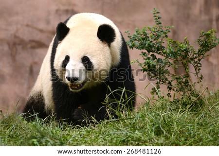 Cub of Giant panda bear playing on field  - stock photo