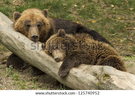 cub sleeping on the trunk of a fallen tree beside mother bear - stock photo