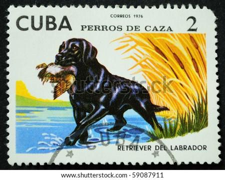 CUBA - CIRCA 1976: A stamp printed in Cuba show the dog labrador, circa 1976 - stock photo