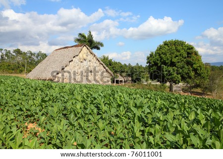 Cuba - tobacco plantation and thatched rural huts in Vinales National Park. UNESCO World Heritage Site.