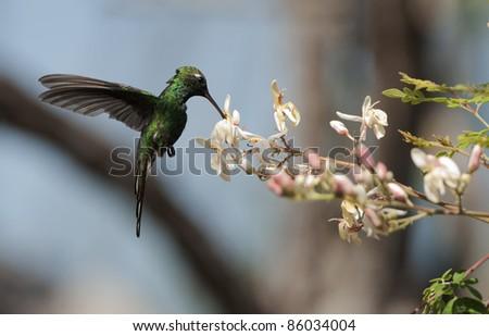 Cuban Emerald Hummingbird (Chlorostilbon ricordii), Cienaga de Zapata, Cuba - stock photo