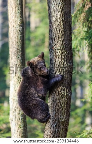 cube brown bear hiding in a tree - stock photo