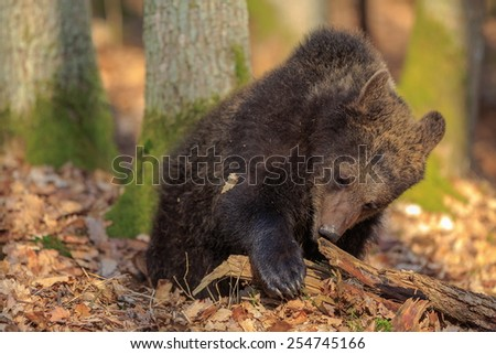 cube female brown bear - stock photo