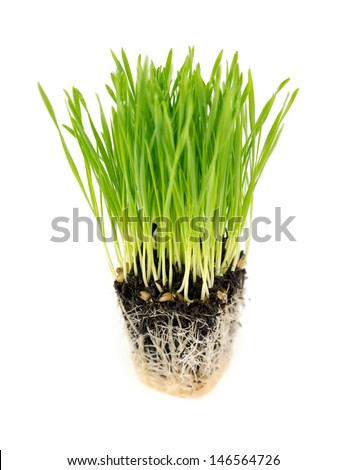 Cube of fresh wheatgrass with soil and roots isolated on a white background - stock photo