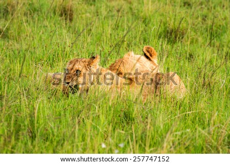 cubs lying in the grass
