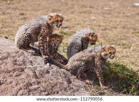 Cubs on the Rock - stock photo