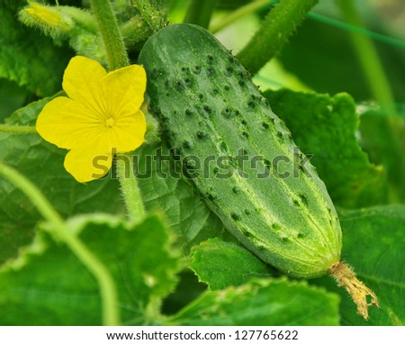 Cucumber and its flower on the cane - stock photo