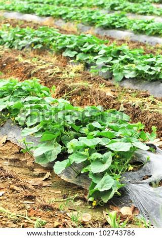 cucumber farm - stock photo