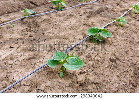 cucumber field growing with drip irrigation system in the countryside - stock photo