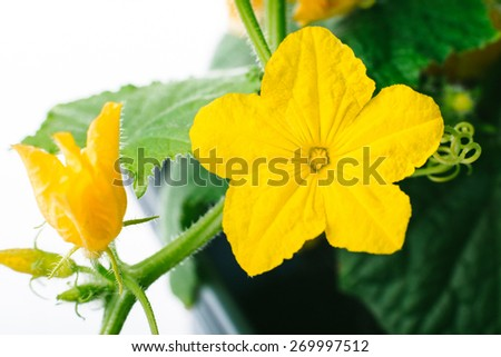 cucumber flower on a white background in a greenhouse, organic farming - stock photo