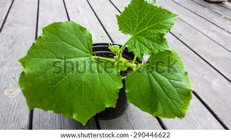cucumber green baby   plants with water drops - stock photo