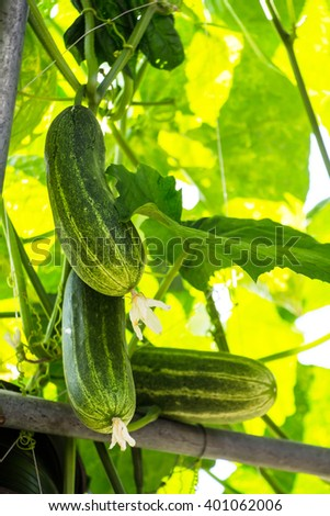 Cucumber on tree in the garden.