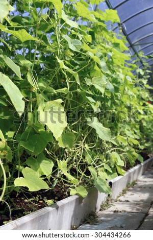 Cucumber plants on the gardenbad in the greenhouse - stock photo