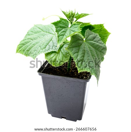 cucumber seedling in a pot isolated on a white background. agriculture and horticulture. - stock photo