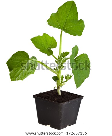 cucumber seedling in black flower pot isolated on white background  - stock photo