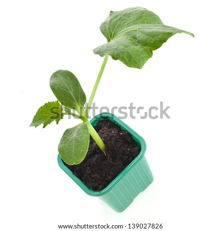 cucumber seedling sprout  in a plastic pot isolated on white background