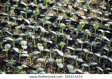 cucumber seedlings in trays in a nursery - stock photo