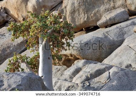 Cucumber tree, Dendrosicyos socotranus - endemic of Socotra Island  - stock photo