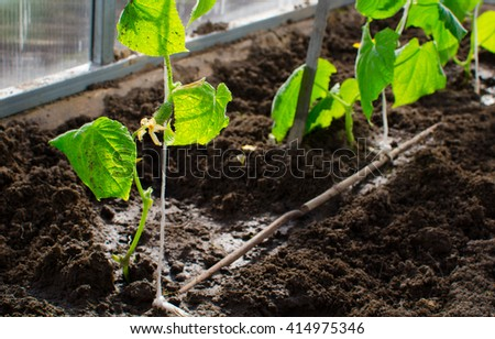 cucumbers in the greenhouse.Erly spring and garden concept.
