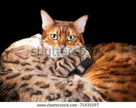 Cuddling bengal cats embrace and look towards the viewer with a black isolation - stock photo